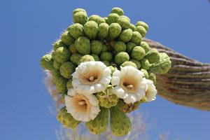 Foto: Saguaro Blüte