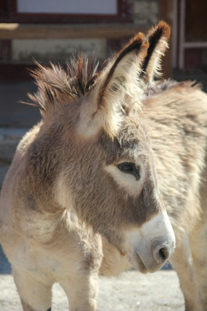 Foto: Esel in Oatman