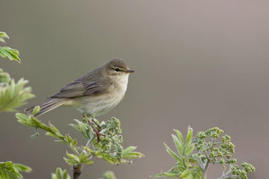 Fitis (Phylloscopus trochilus) / Willow Warbler