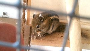 eines der 2 Baumstreifenhörnchen beim Nüsse knacken