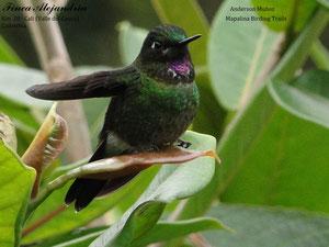 Nuestro más reciente visitante, hermoso y tranquilo posa para la foto de Anderson Muñoz (Mapalina Birding trails