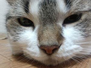 猫顔アップ。