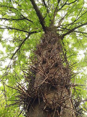 Gleditischie - stacheliger Baum aus Nordamerika