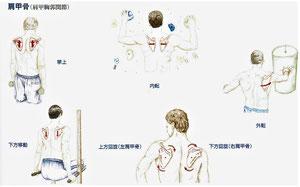 肩甲骨(肩甲胸郭関節)
