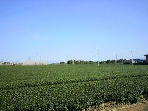 藤野さん事務所周辺の一面の茶畑