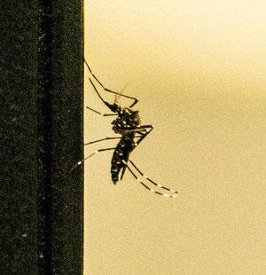 Ägyptische Tigermücke in unserem Büro
