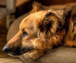dog angels onlus adotta un cane anziano