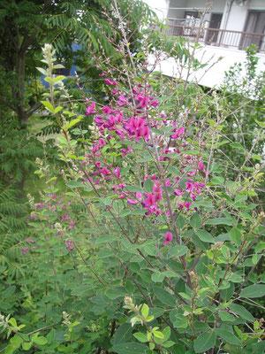 花色も萩と違い、紫色の仙台萩