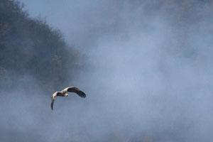 Vautour fauve sortant de la brume