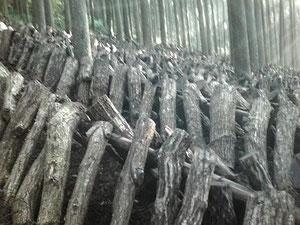 ホダ場に運び原木を伏せる