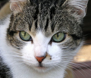 Black-tabby/white