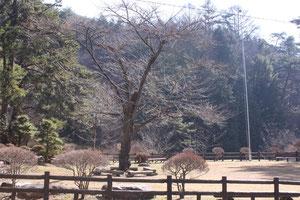 芝生広場桜
