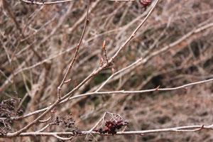 小鳥の森樹木園 ナナカマド