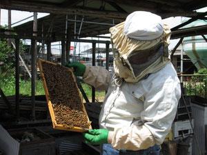 農場の野菜やブルーベリーの受粉に役立ってくれているミツバチと彼女らを愛おしむジョウジ先生