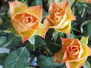 Drei Rosen