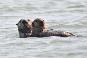 野生に帰った501号が最初の子どもと一緒にいる。 Photo ©Elkhorn Slough National Estuarine Research Reserve.