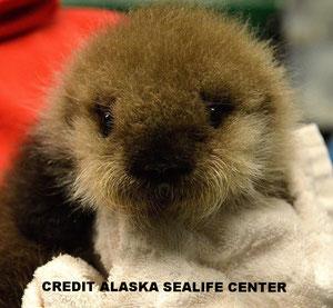 アラスカシーライフセンターで、ラッコの赤ちゃんのグルーミングを行うスタッフ。毛皮を良い状態に保つことはラッコが生きていくために不可欠だ。CREDIT ALASKA SEALIFE CENTER