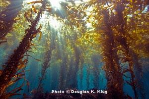 密度の高いケルプの森はラッコを守る。ケルプがまばらになってしまうと、サメの噛みつきの被害に遭うラッコが増える。Photo © Douglas K. Klug