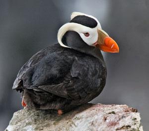 エトピリカ。日本では根室沖のユルリ島などに数十羽が生息するのみで、環境省レッドリストでは絶滅危惧IA類に分類されている。By Alan D. Wilson (naturespicsonline.com (Tufted Puffin)) [CC BY-SA 3.0, via Wikimedia Commons