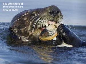 ラッコは水面で食べるため研究が容易だ Photo by Suzi Eszterhas