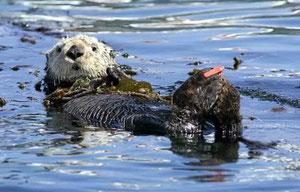 モントレーベイ水族館や他の団体は、ボートの持ち主に対し、サーモン漁の解禁シーズンの間ラッコから距離をとるよう警告している。(Monterey Bay Aquarium -- Contributed)