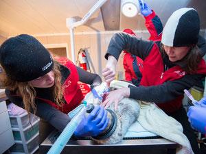 集中治療を受けるウィフィン:Vancouver Aquarium handout