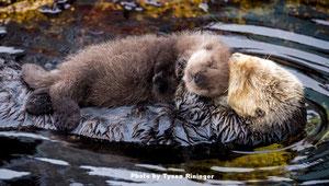 モントレーベイ水族館のタイドプールで休むカリフォルニアラッコと生まれたばかりの子どもPhoto by Tyson Rininger
