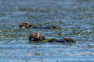 今日のエルクホーン湿地帯のラッコの半数以上が、水族館のラッコプログラムの結果そこに存在する。