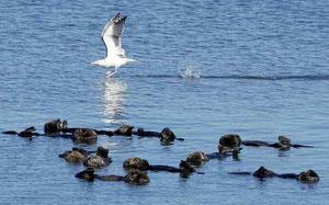 水曜日、モスランディングハーバーでラッコの群れのそばを通り過ぎるカモメ(Vern Fisher - Monterey Herald)