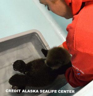 生後約6ヶ月になるまで、保護された赤ちゃんラッコは餌やりやグルーミングの仕方の習得などすべてに渡って24時間のケアを必要とする。CREDIT ALASKA SEALIFE CENTER