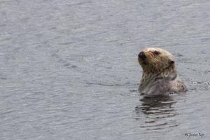 ブリティッシュコロンビアで「潜望」しているオスのアラスカラッコPhoto by Monterey Bay Aquarium/Jessica Fujii