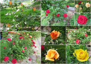 Unsere Rosen in der Oberen Bachdellen 356, Hornussen