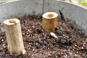 昨年の古い茎の途中から芽が出ているのがわかるでしょうか?