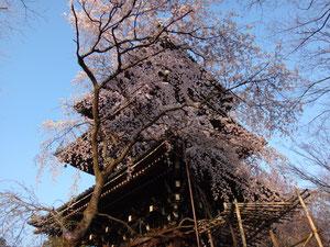 真如堂三重の塔にかかる桜