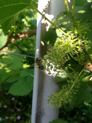Rebblüte am 19.6.2013 mit Biene