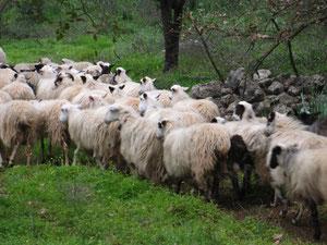 Schafherde - reagiert wie ein eigener Organismus
