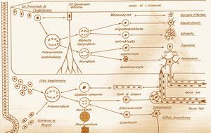 Neurogénèse, anno 1974