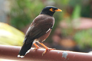 Der Hirtenmaina od. Common Myna am Balkon