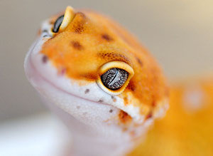 Electric Tangerine Leopardgecko