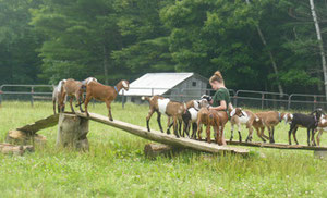 The farm is all about Nubian Goats and cheesemaking