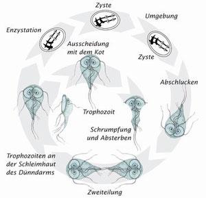 Entwicklungszyklus; von: Intervet Deutschland GmbH
