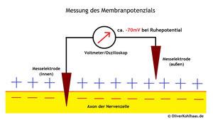 Abb. 1: Messung des Membranpotentials