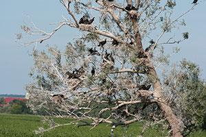 Im Schwedter Polder befindet sich eine große Brutkolonei des Kormorans mit ca. 1000 Brutpaaren