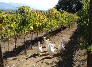 有機栽培のブドウ畑で自由に歩き回るアヒルたち @Cantina di Filippo