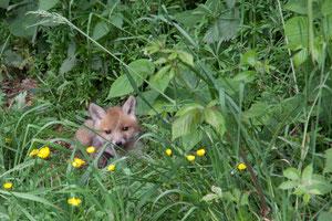 Füchse wohnen auch in Wülfrath direkt neben den Alpakas und Schafen