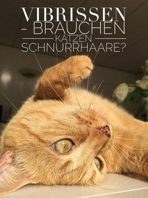 Brauchen Katzen Vibrissen (Tast-Haare)?