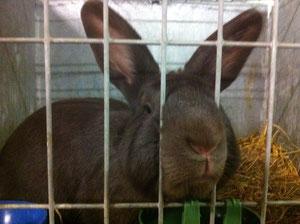 Neugieriges Kaninchen. Besuch der Kleintierschau in Ennetbürgen.