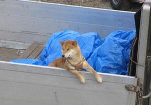 *荷台から、ひたすら飼い主さんを待つ柴犬系わんちゃん