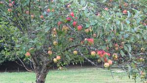 unsere Apfelbäume