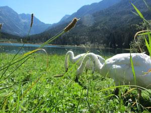 Die Schwäne am Jägersee